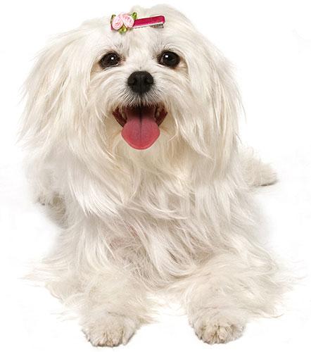 Home - Little White Dog Rescue